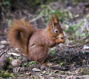 A red squirrel at Newborough Forest.