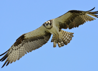 Osprey hawk-flying