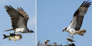 Osprey hawk - We are all delighted that this pair have chosen Llyn Brenig to nest.