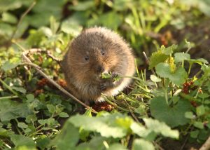 The endangered Water Vole. Picture from Iain Green and People's Trust for Endangered Species.